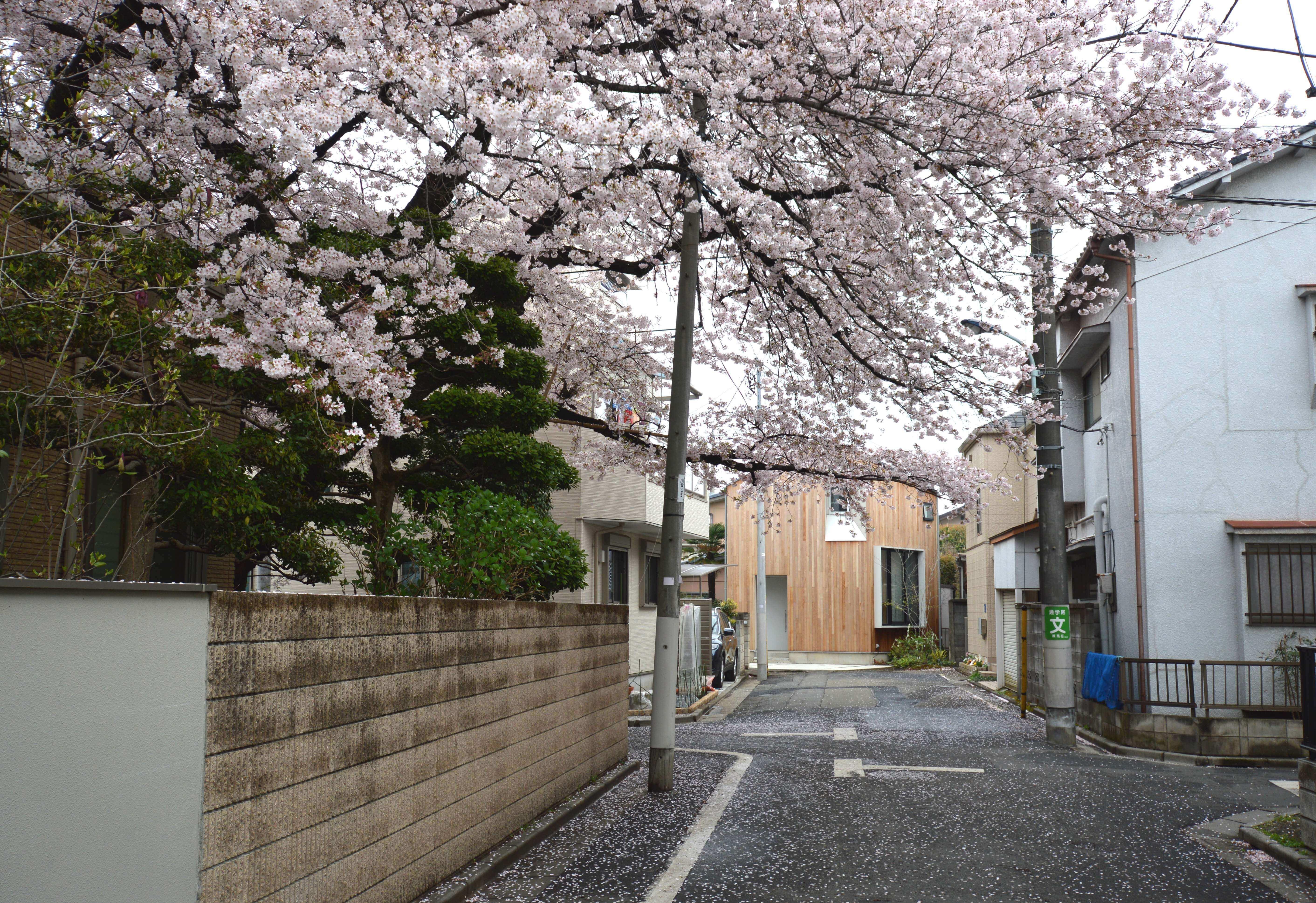 石神井U邸は桜の先に見える木張りの家