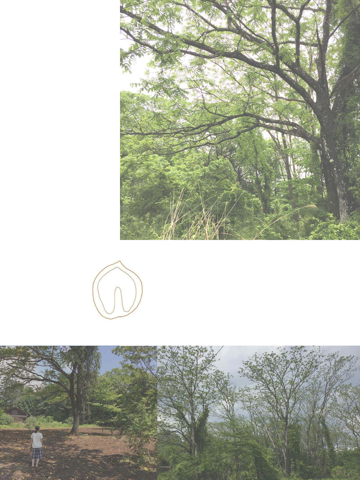 小淵沢K邸の大きなオニグルミの木